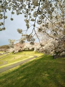 大宮第二公園の桜